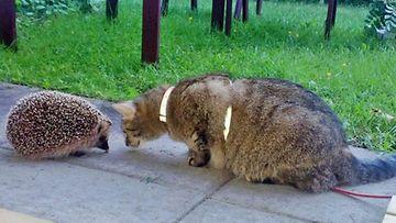 """Viivi-kissa: """"Viivi osaa poseeraamisen jalon taidon =)"""" Kuva: Mari Peippo"""