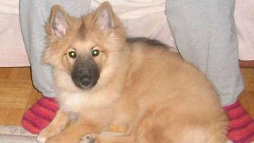 """Nalle-koira: """"Meijän sekarotuinen pikkunen karvapallopoika."""" Kuva: Jonna Paattakainen"""