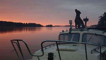 """Rudo-koira: """"Rhodesiankoirani Rudo ulvoo rannalla ikäväänsä - olin itse mökkisaaren toisella puolella melomassa kanootilla."""" Kuva: Mikaela Roos"""