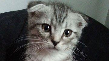 """Poopo-kissa: """"Uteliaisuus näkyy katseessa."""" Kuva: Jonna Paattakainen"""