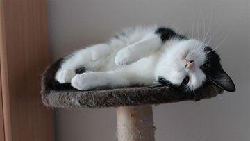 Peksi-kissa. Kuva: Susanna Raassina
