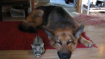 """Nalle-koira: """"Possut tauolla."""" Kuva: Laura Reentie"""
