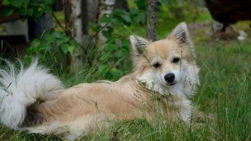 """Tuisku-koira 1,7kk: """"Chihuahuan & mittelspitzin sekoitus. Rakastan rapsutuksia ja leikkimistä."""" Kuva: Sonja Eerola"""