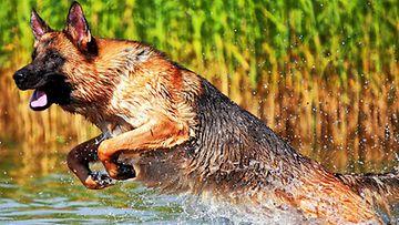 """Galaxy-koira: """"Vesipeto!"""" Kuva: Veijo Lyytikäinen"""