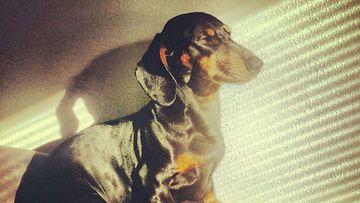 "Xona-koira: ""Xona nauttii auringosta. "" Kuva: Mikaela Holm"