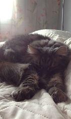 Bamse-kissa: Bamse on noin 4-vuotias ujo poitsu.  Kuva: Nina Laamanen