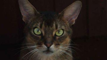 Tuisku-kissa. Kuva: Päivi Majasuo