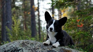 Vilho-koira. Kuva: Liisa Ollilla