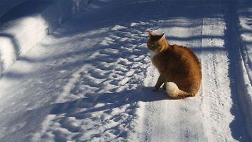 """Tiikeri-kissa: """"10-vuotias arvonsa tunteva herra Tiikeri laiskottelemassa talviauringossa."""" Kuva: Terhi Liimatainen"""