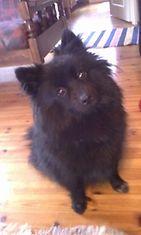 """Mila-koira: """"Meidän kaunis mittelspitz-Mila <3"""" Kuva: Heidi Sinkko"""
