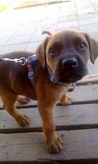 """Bruno-koira: """"Pentu 1kk joka tykkää ulkoilla pihalla paljon."""" Kuva: Minna Latvala"""