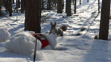 """Lumi-kissa: """"Jännän äärellä."""" Kuva: Anna Willman"""