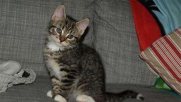 """Enska-kissa: Meidän """"täystuho"""" pikkuinen Enska kisu on kuvassa noin 12 viikkoinen, nykyisin nuori herra on jo 8 kk vanha """"täystuho"""". Kuva: Satu Aalto"""