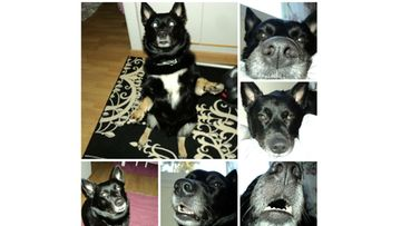 """Devil-koira: """"Devil koira rakastaa tehdä temppuja ja on oikea linssilude ! :)"""" Kuva: Kirsti Silvennoinen"""