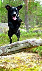 """Oiwa-koira: """"Oiwa nauttimassa hajuista ja mättäistä kesäisessä metsässä omalla tyypillisellään energiallaan."""" Kuva: Pauliina Lahtinen"""