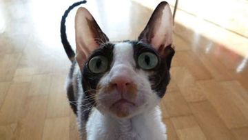 """Heta-kissa: """"Uteliastakin uteliaampi minikissa."""" Kuva: Katriina Alanen"""