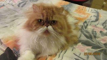 """Pate-kissa: """"Vanha herra persialainen :)"""" Kuva: Tuula Kortelainen- Harinen"""