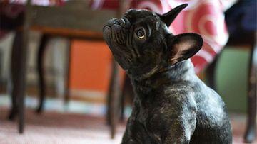 """Mango-koira: """"Isosiskon hyperaktiivinen Ranskanbulldoggi."""" Kuva: Maarit Siekkinen"""