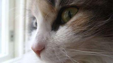 Pörri-kissa. Kuva: Henna Kiuru