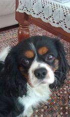 """Osku-koira, 4,5 vuotta: """"Ei, en ole tehnyt mitään pahaa."""" Kuva: Eija Välkki"""