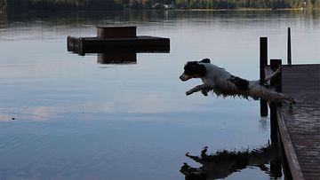 """Tiuku-koira: """"Uiminen on parasta mitä cokkeri tietää!"""" Kuva: Tuomo Karvonen"""