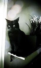 """Olga-kissa: """"Harvoin mustasta Olgasta saa näin hienon kuvan."""" Kuva: Eija-Riitta Salminen"""