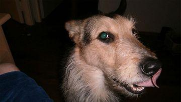 Rico-koira. Kuva: Ilkka Lappi