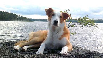 """Ellu-koira: """"Meidän rakas prinsessa Ellu osaa nauttia lomasta rennosti!!!"""" Kuva: Tiina Rapatti"""