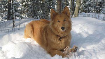 """Hilari-koira: """"Talvella on hauskaa."""" Kuva: Susanna Kaleva"""