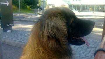 """Perro-koira: """"Odotan innolla Mc Donald's pihalla drive in jonossa, oisko jotain herkkua mulle?"""" Kuva: Satu Tabell"""