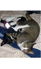 """Miska-kissa: """"Miska ja tyttöystävänsä Peppi painimassa, sen täytyy olla rakkautta!"""" Kuva: Maarit Kivinen"""