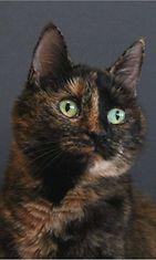"""Misse-kissa: """"Misse on kissa joka tietää olevansa hyvin fotogeneettinen. Tässä koulukuvatyyppinen poseeraus."""" Kuva: Katja Peltonen"""
