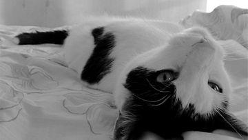 Väinö-kissa: Silitystä vailla. Kuva: Suvi Jämsen