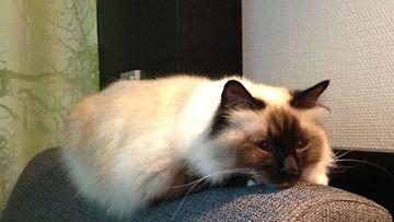 """Endor-kissa: """"Pyhä birma Enska (Endor) omassa elementissään."""" Kuva: Jonna Siikanen"""