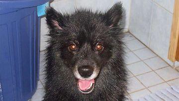Nala-koira:  Nala suihkun jälkeen.:) Kuva: Pia Tuomi