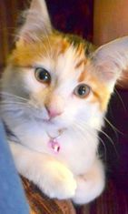 """Narsisca-kissa: """"6kk vanha maalaistyttö, joka määräilee kotona :)"""" Kuva: Anna-Maria Tikka"""
