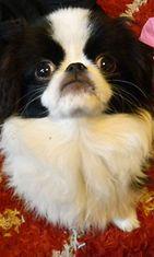 """Danny-koira: """" Japanese Chin"""" Kuva: Miia Matikainen"""