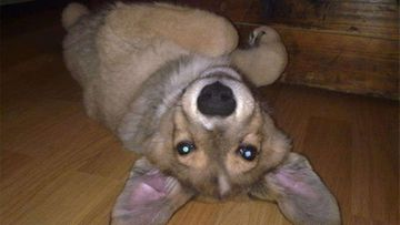 Patu-koira. Kuva: Piritta Koivukangas