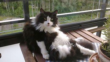 """Lordi-kissa: """"Lordi tykkää istuskella parvekkeella:)"""" Kuva: Mari Rantala"""