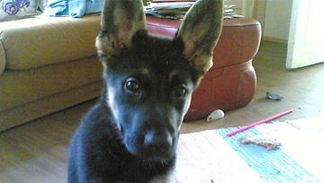 Sara-koira: Sara on juuri saapunut (2007) saapunut 5 kisun perheeseen. Kuva: Pirjo-Riitta Rantala