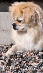 """Blondi-koira: """"Suloinen haukku."""" Kuva: Marika Rämö"""