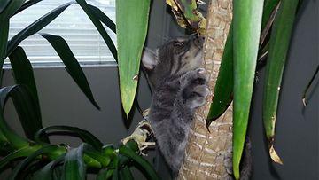 """Taneli-kissa: """"Taneli viidakkokissa."""" Kuva: Miia Faarinen"""