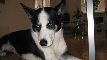 """Wixu-koira: """"Sinisilmäinen kaunotar."""" Kuva: Riitta Ince"""