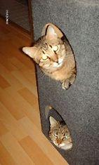 """Reino ja Poju: """"""""Piilosta"""" seurailevat mitä teen :) Mulla on lisäksi vielä 1 kissa, mutta häntä ei saa koskaan samaan kuvaan näiden vauhtiveikkojen kanssa, on vähän vanhempi ja rauhallisempi ;)"""" Kuva: Sirpa Keinänen"""
