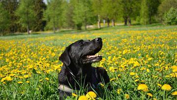 """Cinta-koira:"""" Kevätrusketusta hakemassa.""""Kuva: Simo Lindholm"""