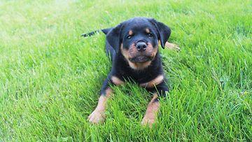 """Otto-koira: """" Meijän Otto poika :-)"""" Kuva: Janina Riekkinen"""