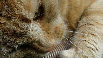 """Titti-kissa: """"Aina ennen unia tekisi mieli vähän kynsiä jotakin..."""" Kuva: Sirkku Linnea Pitkänen"""