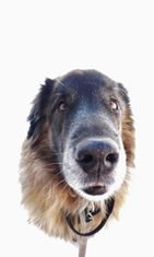 """Luka-koira: """"Vanha herra talvilenkillä!"""" Kuva: Leena Bergman"""