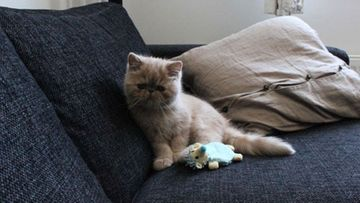 Muhvi-kissa. Kuva: Lauri Pelander