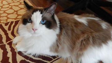 Iivari-kissa. Kuva: Viivi Toivonen